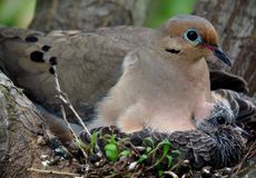 Mourning Dove Mother And Her Babies. Sitting in their nest Royalty Free Stock Photo