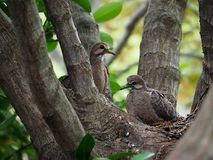 Mourning Dove Mother And Her Babies. Sitting in their nest Royalty Free Stock Image