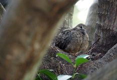 Mourning Dove Mother And Her Babies. Sitting in their nest Stock Photography
