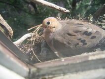 Mourning dove on nest. Side view of nesting mourning dove on window sill Royalty Free Stock Photo