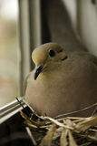 Dove on windowsill Royalty Free Stock Images