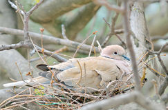 Mourning Dove. Nesting Mourning Dove bird in spring time Royalty Free Stock Photography