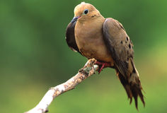 Free Mourning Dove On Branch Royalty Free Stock Images - 10072599
