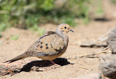 Mourning Dove. Oregon, US Stock Photography