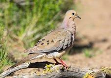 Mourning Dove. Oregon, US Royalty Free Stock Photos
