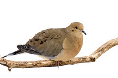 Mourning dove overlooks its surroundings Royalty Free Stock Image