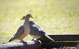 Mourning Dove Pair Stock Images
