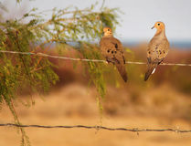 Mourning Dove Pair - San Felipe Baja Stock Images