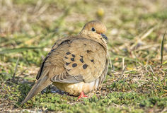 Mourning Dove. A peaceful Mourning Dove rests in the morning sunlight at a Wisconsin park Stock Photography