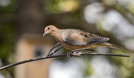 Mourning Dove. On a perch stock photos