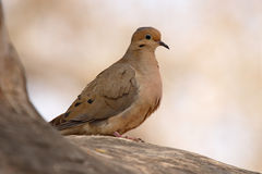 Mourning Dove On Perch Royalty Free Stock Photography