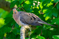 Mourning dove. Perched on a branch Royalty Free Stock Photos