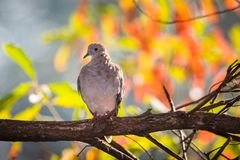 Mourning dove perched on a branch with fall leaves in background Royalty Free Stock Image
