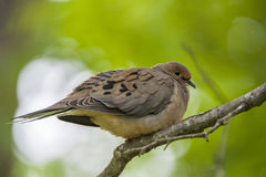 Mourning Dove. Perched on a branch in the woods Royalty Free Stock Photography