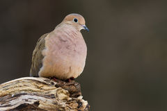Mourning Dove. A mourning dove perched on a log Royalty Free Stock Image