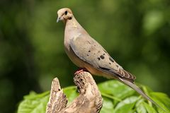 Mourning Dove. Royalty Free Stock Photo