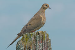 Mourning Dove. Perched on an old fence post Royalty Free Stock Photo