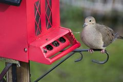 Dove at red bird feeder stock image