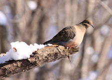 Mourning Dove perched in a tree. A Mourning Dove perched in a tree in the middle of winter Royalty Free Stock Image