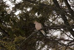 Mourning dove perched on tree branch Stock Photography