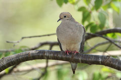 Mourning Dove Perched on a Tree Branch Stock Photo