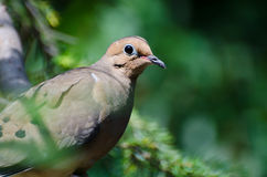 Mourning Dove Perched in a Tree Stock Images