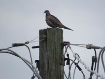 Mourning Dove. Perched on utility pole Stock Photo
