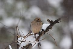 Mourning Dove Perched Winter Setting. A Mourning dove intently watches as the snow falls around it Stock Image