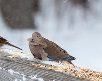 Mouning Dove Perched Stock Images