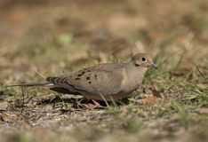 Mourning Dove. A pretty adult Mourning Dove walking on the ground at Lettuce Lakes Park near Tampa, Florida Stock Images