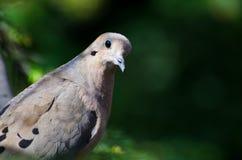 Mourning Dove Profile Stock Image