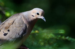 Mourning Dove Profile Royalty Free Stock Photos