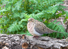 Mourning Dove puffed up on a log Stock Photography