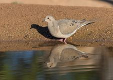 Mourning Dove Reflection. The mourning dove is a member of the dove family, Columbidae. The bird is also known as the American mourning dove or the rain dove Royalty Free Stock Photo