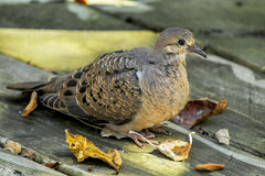 Mourning dove resting on deck boards in the fall Royalty Free Stock Image