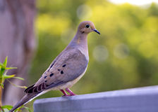 Mourning Dove Stock Images
