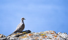 Mourning Dove on a Rock Stock Images