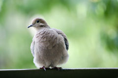 Mourning Dove. Seen wild in San Diego, California Stock Photography
