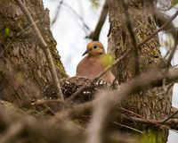 A mourning dove sits in the nest in a tree royalty free stock image