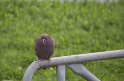 Mourning Dove sitting on the railing Royalty Free Stock Photo