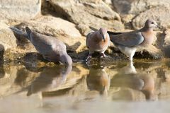 Mourning Dove sitting on a rock at waterhole in the Kalahari Royalty Free Stock Photography