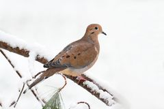Mourning Dove in Snow Stock Images
