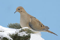 Mourning Dove in Snow. Mourning Dove (Zenaida macroura) on a spruce tree covered with snow in winter stock photo