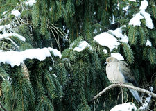 Mourning Dove on a snow covered pine tree Royalty Free Stock Photography