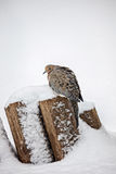 Mourning Dove in Snow Stock Photography