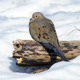 Mourning dove in snow Royalty Free Stock Photos