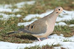 Mourning Dove in Snow Royalty Free Stock Photography