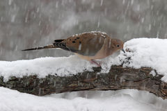 Mourning Dove in a Snowstorm Royalty Free Stock Photography
