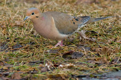 Mourning Dove Stock Photography