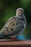 Mourning Dove standing on a deck Stock Photos